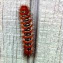 Echo moth (larva)