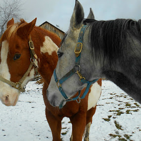 Horses by Sandy Davis DePina - Animals Horses ( friends, maine, horses, snow, horse,  )