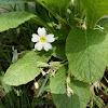 Primrose (άσπρη πασχαλούδα)