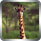 Wild Giraffe Live Wallpaper