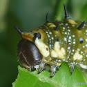 Dingy Swallowtail Caterpillar