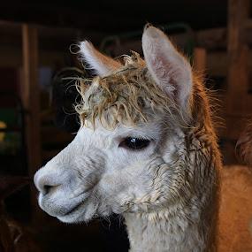 What's That??? by LeeAnn Heikkila - Animals Other ( alpaca )