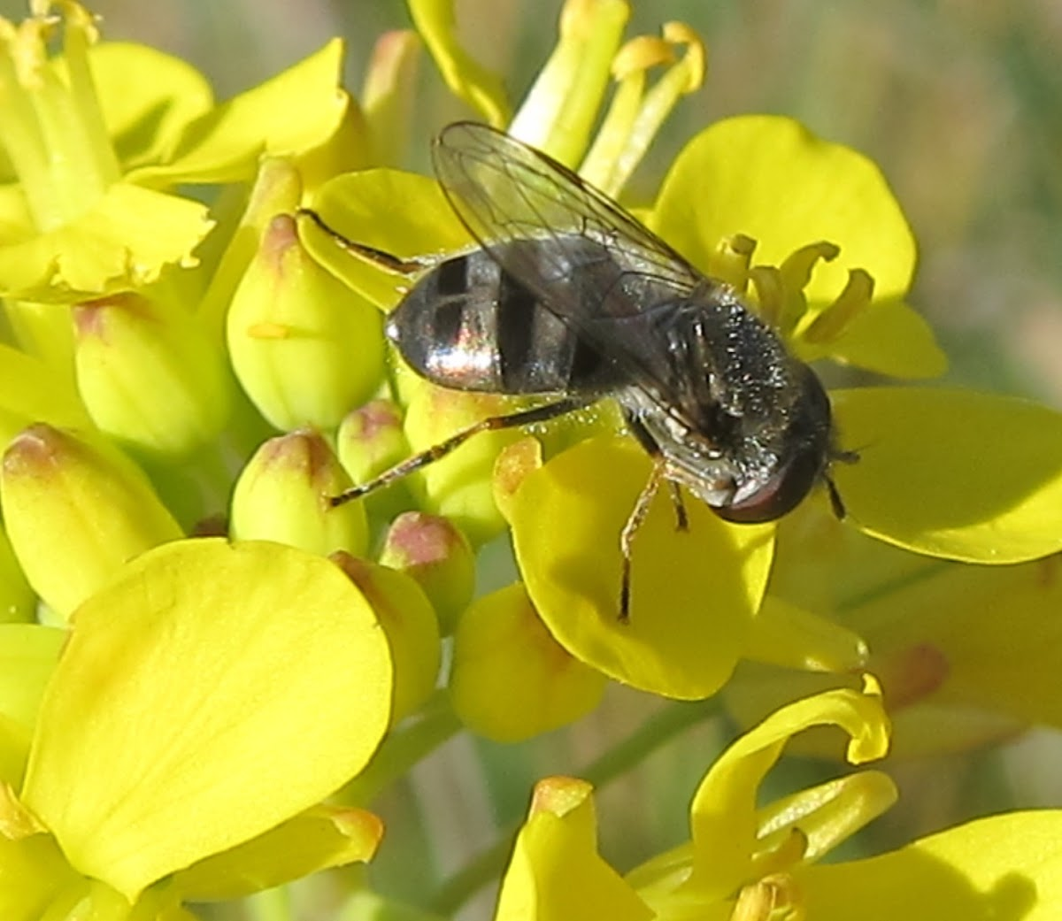 Hover Fly feeding on Wild Mustard Blossoms