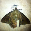 (Palomilla) Mariposa Negra (macho), Black Witch Moth