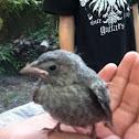 Brown-headed Cowbird (fledgling)