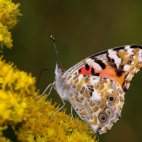 Butterfly V by Zoran Rudec - Animals Insects & Spiders ( butterfly )