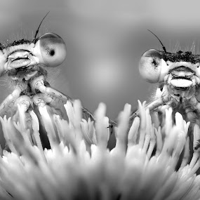 Happy aliens by Alberto Ghizzi Panizza - Animals Insects & Spiders ( damselfly, black & white, alien, insects, flower, macro )