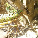 Old World Swallowtail Caterpillar