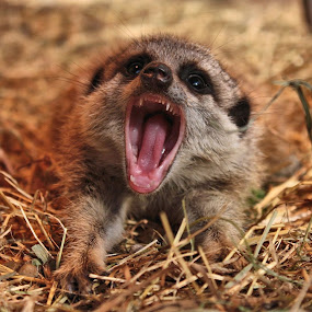 Meerkats by Dean Thorpe - Animals Other Mammals