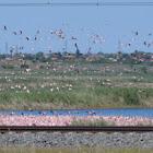 Lesser flamingos of Kamfer's Dam