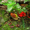 Corotu Tree seed