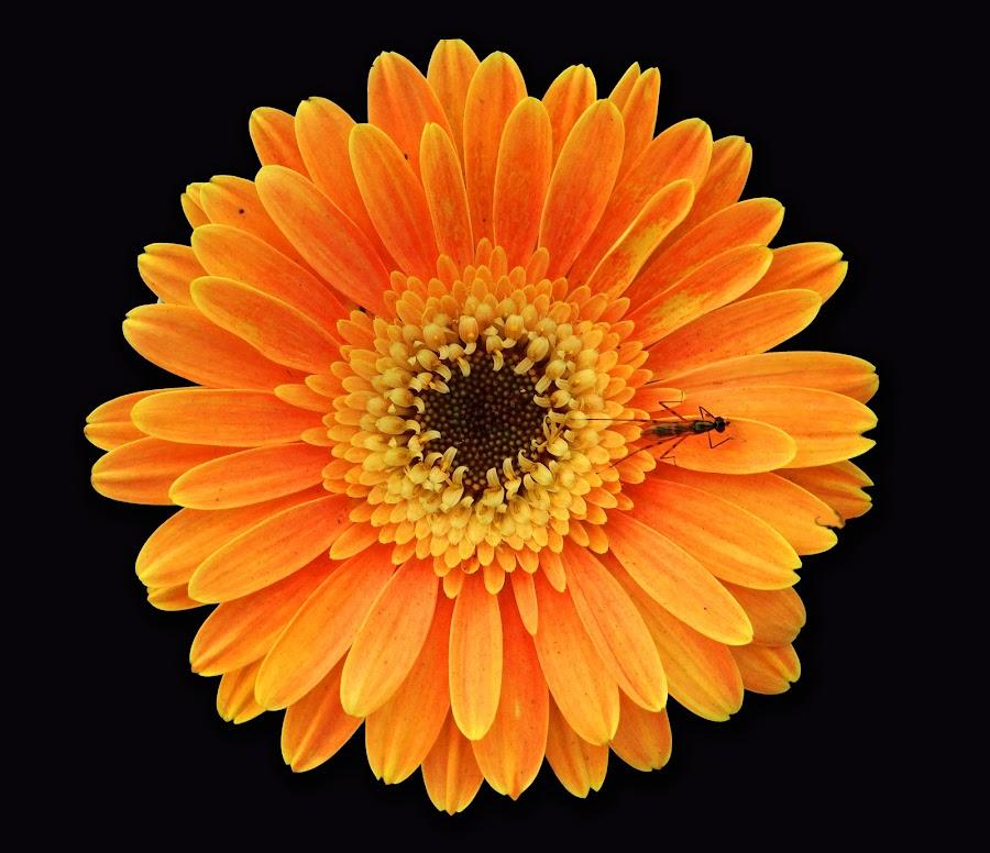 Orange beauty by Asif Bora - Flowers Single Flower (  )