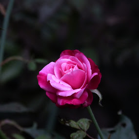Pink Rose (blooming) by Vaibhav Shende - Flowers Single Flower ( pink rose, blooming rose )
