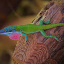 Blue-headed Anole