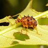 Spiny Leaf-Rolling Weevil