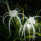Spider lily...