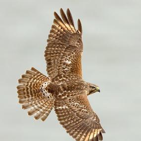 Red Shouldered Hawk by Herb Houghton - Animals Birds