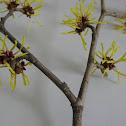Witchhazel flowering shrub