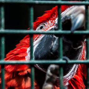 Scarlet Macaw by Ahmet AYDIN - Animals Birds