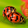 Indian Wave Striped Ladybug
