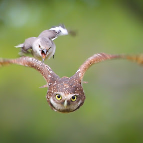 The Real Angry Bird by Liza Chevres - Animals Birds ( burrowing owl mocking bird,  )