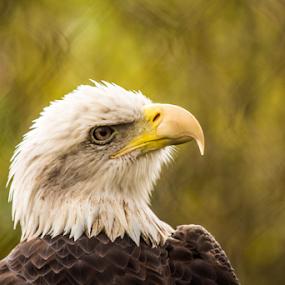 Eagle by Rick Touhey - Animals Birds ( eagle, bald eagle, birds )