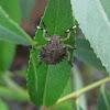 European stinkbug