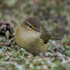 Mosquitero común (Common chiffchaff)