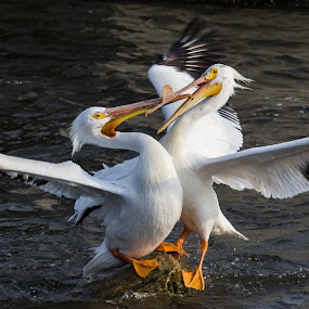 King of the rock by Brandon Seidl - Animals Birds ( large birds, battle, pelicans )