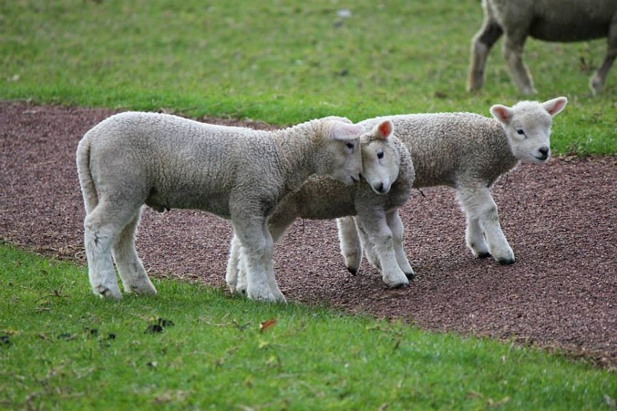 Sheep couple by Chu Hyde - Animals Other (  )