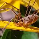 Daddy Long-legs spider