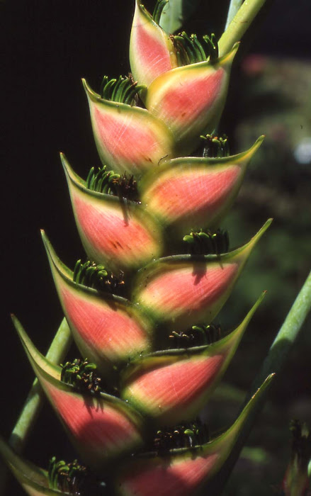 A lobster claw, or heliconia, at Fiji's Garden of the Sleeping Giant, home to 25,000 species of flowers.