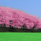 Cherry blossoms - Full