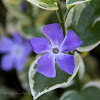 Variegated Greater Periwinkle