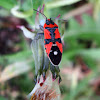 European False Milkweed Bug