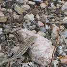 Southwestern Fence Lizard