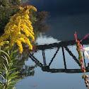 Canada goldenrod
