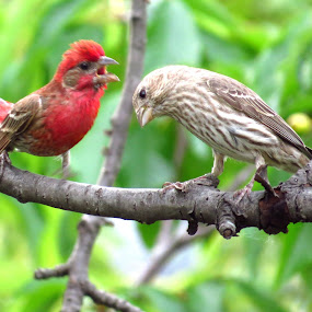 I want to sing you a love song! by Patti Hobbs - Animals Birds ( animals birds love song finch )