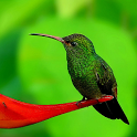 Colibri Live Wallpaper icon