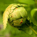 Southern shield fern