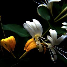 Honeysuckle Dreams by Don Kuhnle - Flowers Flowers in the Wild ( colors, wildflower, summer, virginia, flowers )