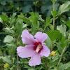 Hibiscus syriacus L