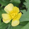 bristly buttercup