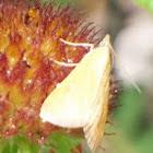 Snout moth?