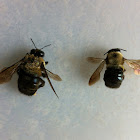 Wood bee or Carpenter bee
