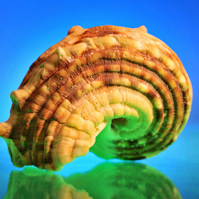 Spiral Shell by Tom Vogt - Nature Up Close Other Natural Objects ( shell, twisted, spiral,  )