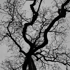 Garry Oak Tree