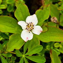 Dogwood or Bunchberry