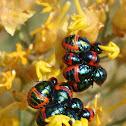 Graptocoris nymphs