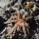 Baby Rose tarantula